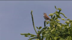 Song Sparrow Singing 01 Stock Footage
