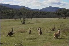 Australia Kangaroos Kosciuszko NP Stock Footage