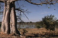 Baobab tree Mali Stock Footage