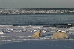 Bears in sunshine Stock Footage