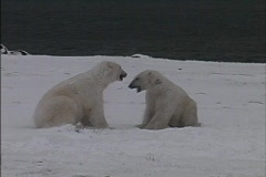 Bears play fight  Stock Footage