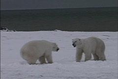 Polar Bears play flight 1 Stock Footage