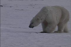 Big bear walking Stock Footage