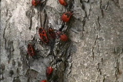 Black & red bugs on tree Stock Footage