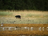 Stock Video Footage of Black bear Alaska