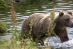 Brown bear walking Stock Footage