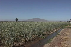 CA Onion crop Imperial Valley Stock Footage