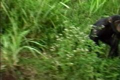 Chimpanzee running - stock footage