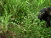 Stock Video Footage of Chimpanzee running