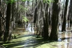 Cypress swamp detail LA - stock footage