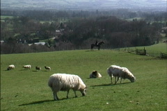 England Cotswold sheep Stock Footage