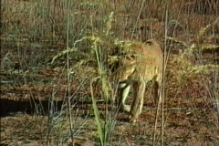 Female lion in reeds Stock Footage