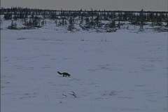 Fox & arctic tree line Canada Stock Footage