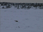 Stock Video Footage of Fox & arctic tree line Canada