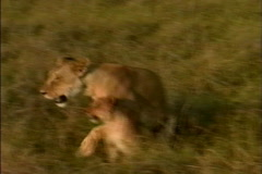 Lion with cubs Stock Footage