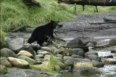 Alaska Black bear retreats Stock Footage
