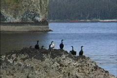 Alaska Cormorants on Rock Stock Footage