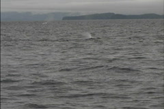 Alaska Whale tail Stock Footage