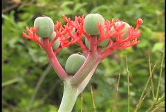 Green berries red stalks Stock Footage
