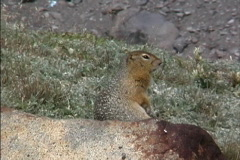 Ground squirrel on rock Stock Footage