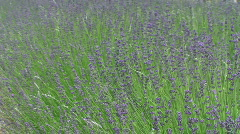 Field Of Lavender Blows In Wind Stock Footage