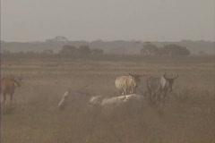 Herding cattle in Venezuela Stock Footage