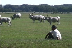 Hungary Traditional cattle Pusta Stock Footage