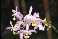 Lavender & yellow orchid Stock Footage