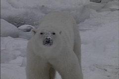 Looking down at Polar bear Stock Footage
