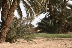 Morocco Date palms & wheat Stock Footage