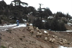 Stock Video Footage of Morocco Shepherd & sheep