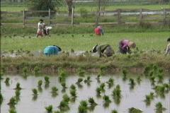 Myanmar Transplanting rice Stock Footage