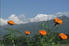 Nepal Peaks & marigolds Stock Footage