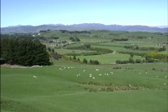 Sheep in green pastures in New Zealand Stock Footage