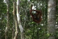 Orangutan in Borneo rainforest Stock Footage