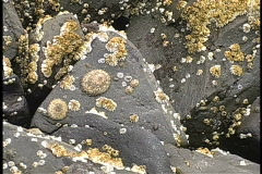 Patterns of Limpets on rocks Stock Footage