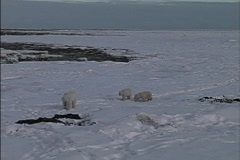Polar bear & cubs Stock Footage