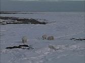 Polar bear & cubs Stock Footage