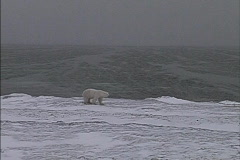 Polar Bear by Hudson Bay Stock Footage