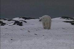 Polar bears approach - stock footage