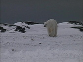Stock Video Footage of Polar bears approach