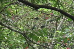 Rainforest Birds in Australian trees Stock Footage