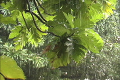 Rainforest Breadfruit leaves in rain Stock Footage
