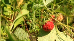 Red wild strawberry Stock Footage