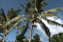 Rarotonga Coconuts on tree Stock Footage