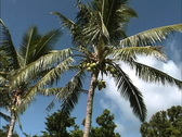 Rarotonga Coconuts on tree Stock Footage
