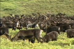 Reindeer herd grazing Stock Footage