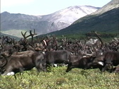 Stock Video Footage of Reindeer herd walking