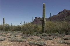 Saguaro cactus AZ Stock Footage