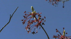 Blooming tree against vivid blue sky Stock Footage
